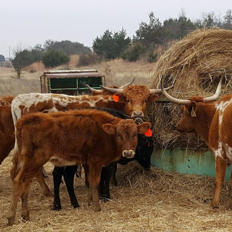 The Humane Society of North Texas removed 338 longhorns, including a three-day-old calf, from a property outside Waco.