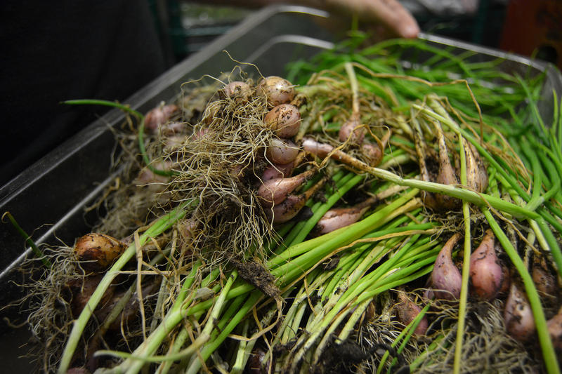 bbbop, a Korean fusion restaurant with locations in Dallas, grows some of their own herbs in the back of the restaurant. These shallots were grown from seeds brought to the U.S. by Southeast Asian refugees.