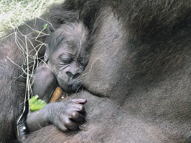 The first baby gorilla at the Dallas Zoo in 20 years was born on June 25, the zoo announced.