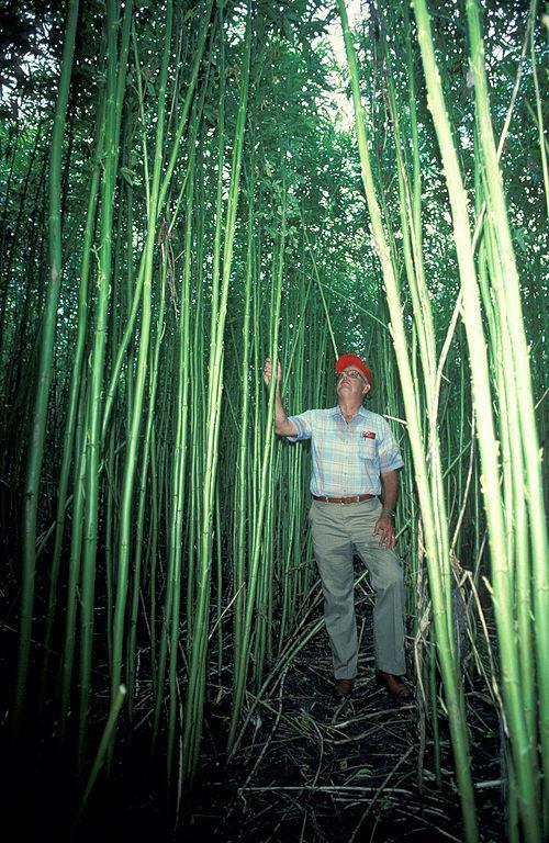 Kenaf can grow more than 10 feet tall.