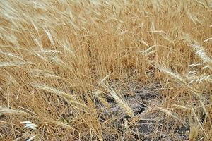 Wheat yields are expected to be drastically reduced or non-existent in most parts of Texas because of the 2011 drought. (Texas AgriLife Extension Service photo by Robert Burns)
