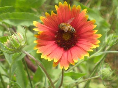 A bee lands on a wildflower in a field originally approved for mowing and parking use at Winfrey Point.
