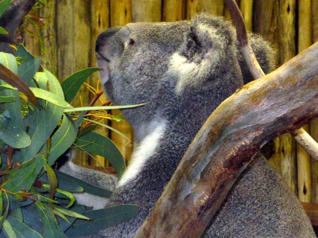 "Tekin takes a break from what his caretaker calls ""postcard koala"" posing to munch on eucalyptus."