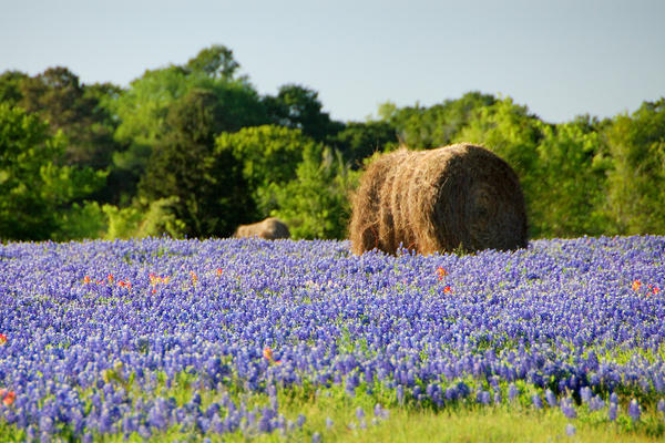 A field of bluebonnets -- it doesn't get any more Texas than that.