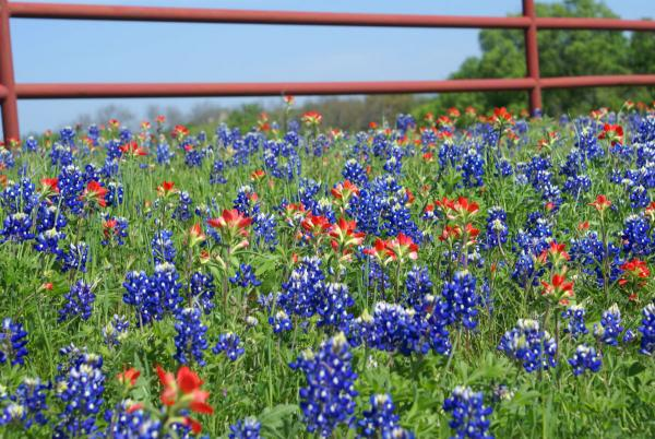 The bluebonnets are popping in Ennis.
