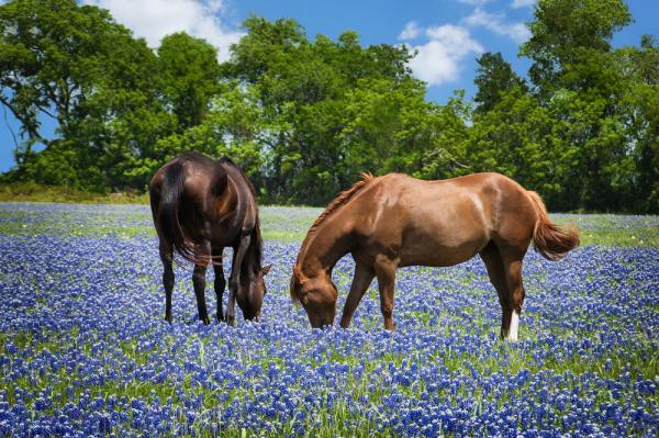 Are these horses nibbling on bluebonnets? Or smelling them?