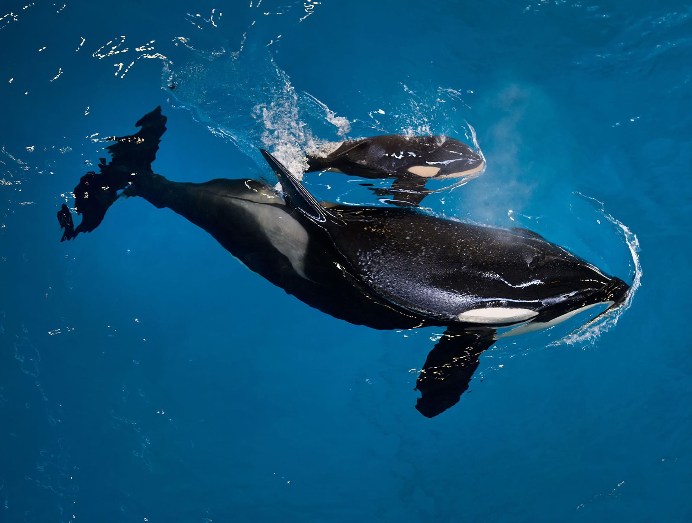 SeaWorld Welcomes Its Last Killer Whale Born In Captivity At San ...