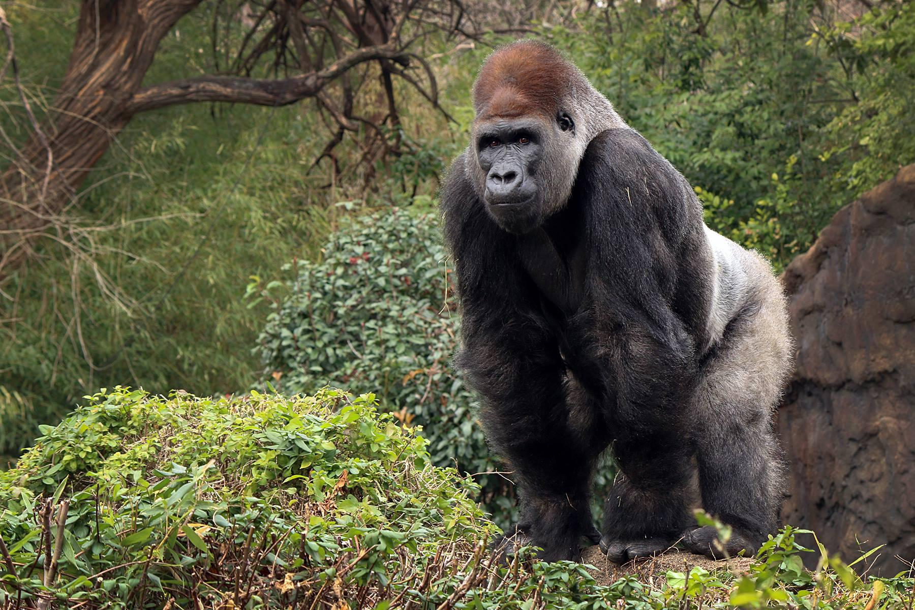 taking a great ape s blood pressure isn t easy the dallas zoo has