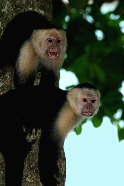 White-faced capuchin monkeys live in lowland forests and mangrove swamps of Central America. Inquisitive animals, the monkeys will come down out of the trees to steal unprotected food and other items from humans.