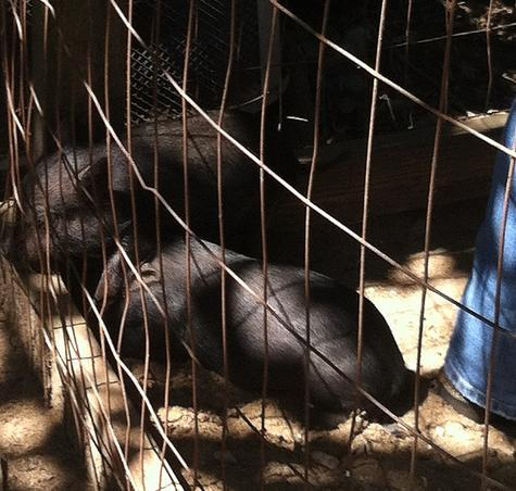 Piglets seized on July 18