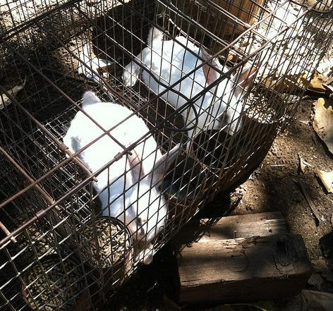 Rabbits seized on July 18