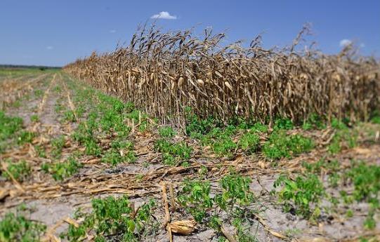 Scorched corn fields in Fayette County, Texas in late July