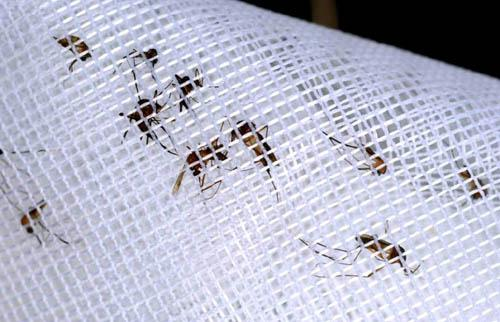 Mosquitoes collected in a trap in Georgia