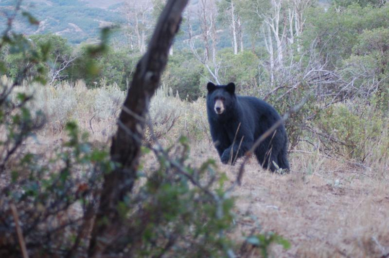 Luke photographed this big black bear last week while elk hunting in Colorado at a scant 12 yards.