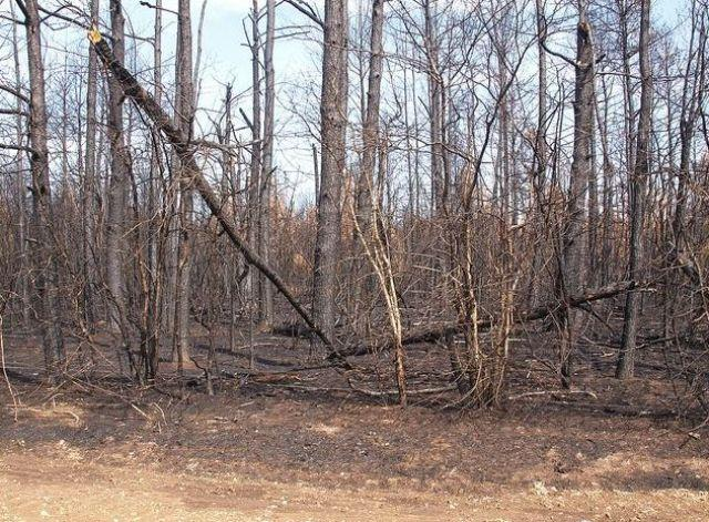 Trees following a 2011 wildfire in Magnolia County, TX