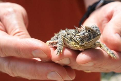 TCU biology professor Dean Williams holding a lizard during a recent survey in Karnes City.