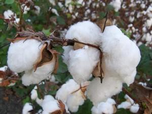 Cotton harvests have already been completed in South Texas.