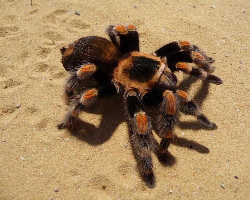 Typically harmless to humans, Tarantulas still bring fear into the hearts of many.