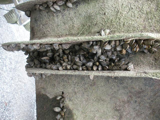Lake Texoma, Lake Ray Hubbard and Lake Lewisville have been infested by the mussels.