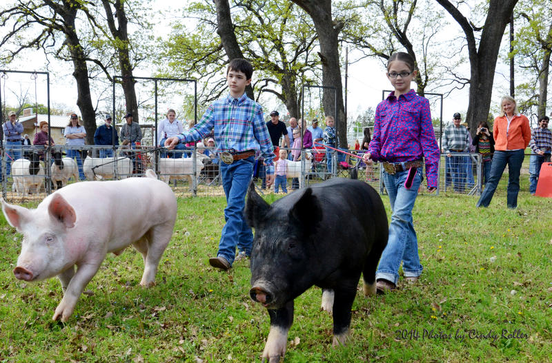 The pig showing of the jr. livestock show.