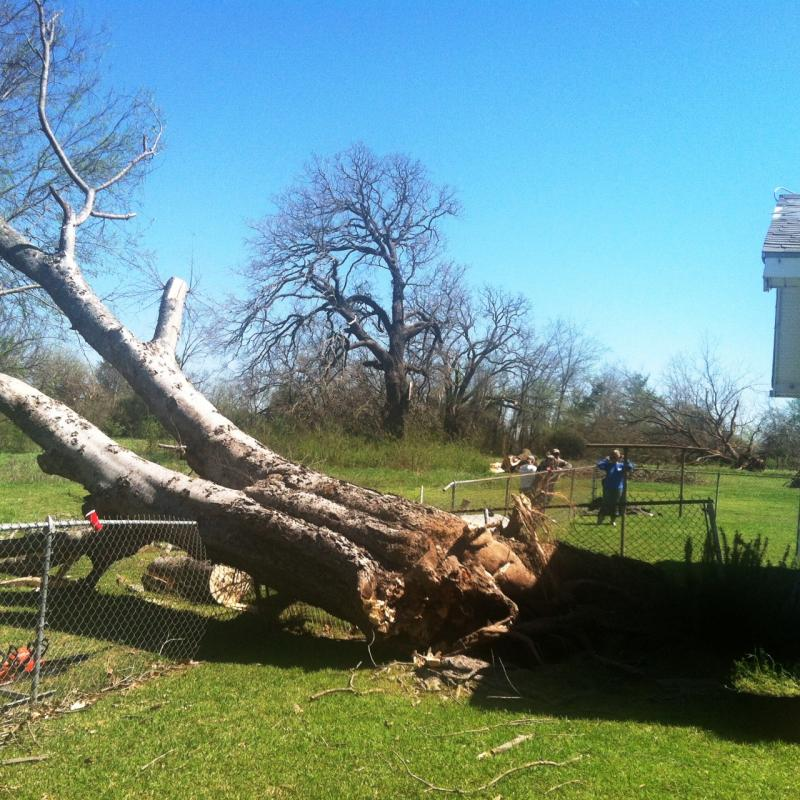 A large tree was among many uprooted along State Highway 19.