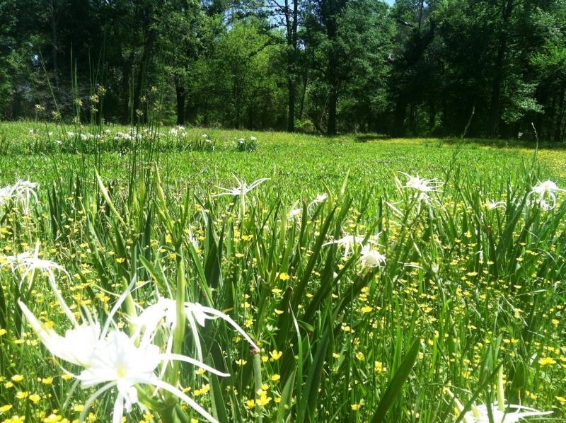 Spider lilies and trees in the proposed reservoir site.