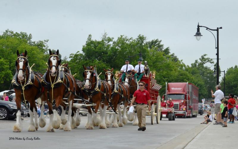The famous Budweiser Clydesdales delight the crowd at the Hopkins County Dairy Festival parade in Sulphur Springs on June 14.