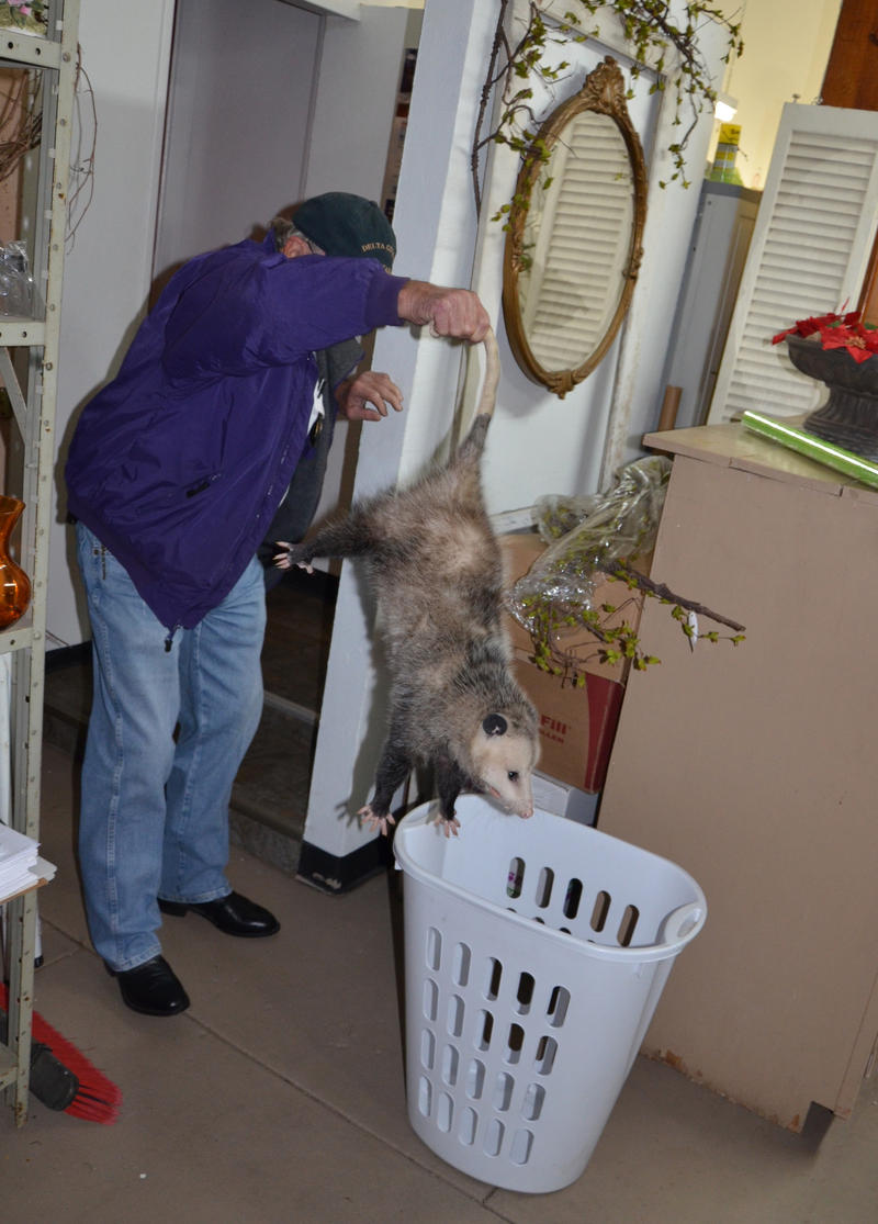 Delta County Constable Ben Snow nabs the opossum at the Floral Depot & Gift Shoppe in Cooper..