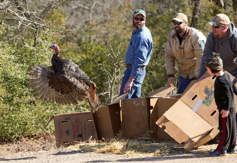 Texas Parks and Wildlife help increase the population of the Eastern turkey.