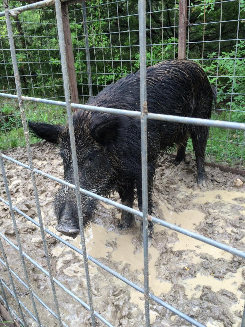 A Hog recently caught by expert trapper Donald Kelly.