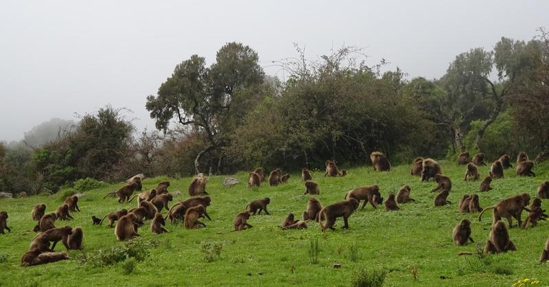 Herd of Gelada Baboons in Simien National Park.