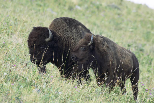 Luke explores concerns of the fate of the National Bison Range and American Bison such as these with writer Susan Campbell Reneau.