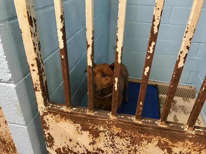 A shelter dog peers up and out through the bars of a rusted kennel door.