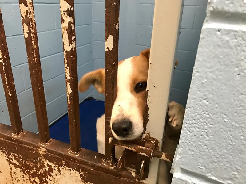 A shelter dog presses through its rusted kennel door to investigate Jerrod Knight's presence.