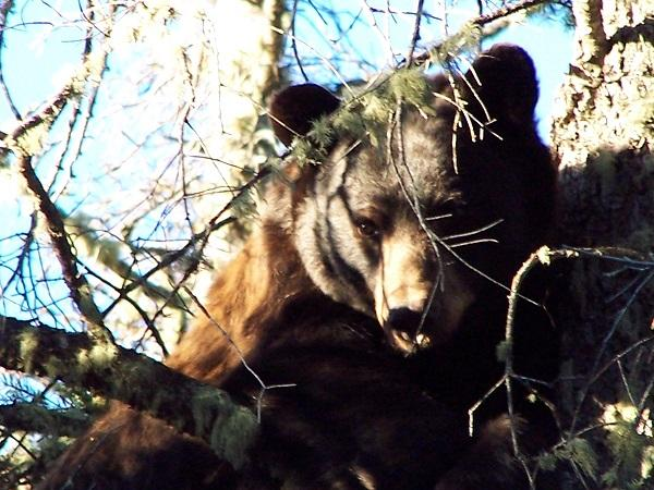 This bear was Luke's first encounter with an agressive sow bear with cubs in New Mexico nearly 20 years ago