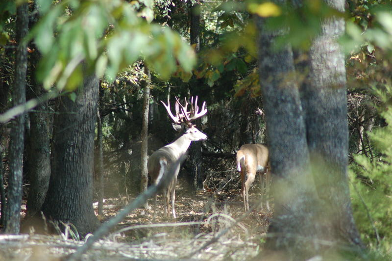 Luke saw some awesome whitetail bucks on his short one day hunt, including this monster that appeared to be in the early stages of the rut, hot on the trail of a doe.
