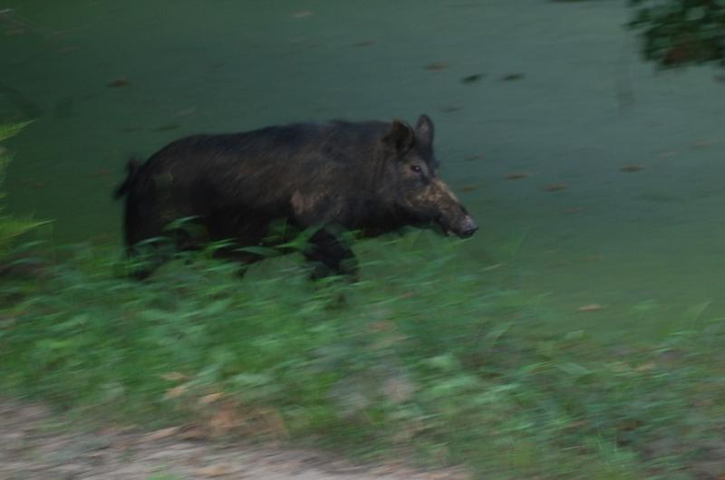 Are wild hogs good to eat? This is a question Luke is asked often. His answer is YES but not every hog! The pork from younger boars can be transformed into tasty meals IF it's prepared and cooked properly.