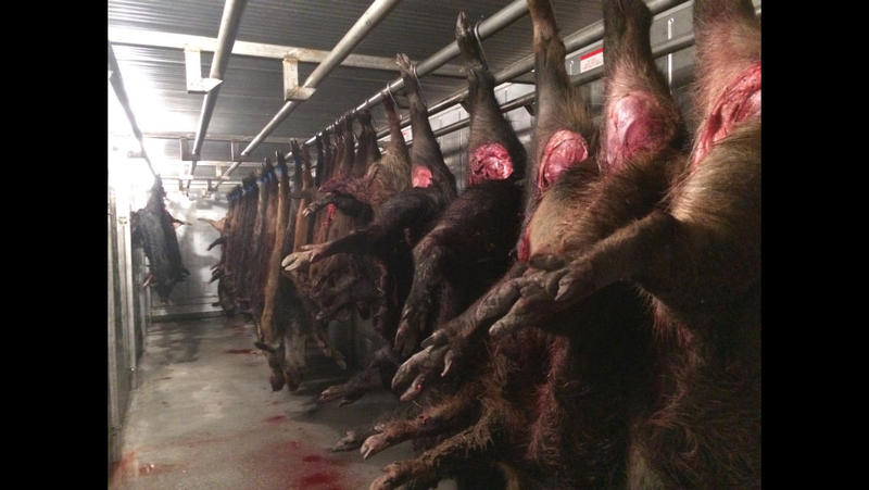 The pic is of hogs ready for processing at WIld Boar Meats www.wildboarmeats.com in Hubbard, Texas