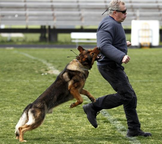 Wylie Police canine, Caro, shown apprehending a decoy suspect, will be among other police K-9 units performing demonstrations at the Back Street Bash in downtown Greenville on April 28.
