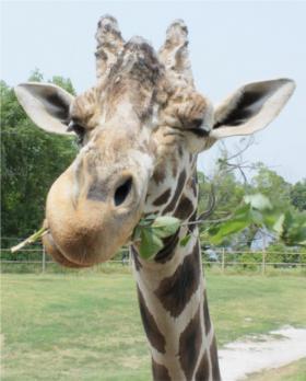 Samburu, longtime resident of the Tulsa Zoo, died Saturday.