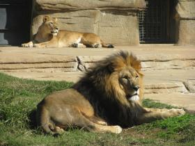 Lions sun themselves at the Tulsa Zoo. Included in the proposal is $8 million to construct a new big cat exhibit at the Tulsa Zoo.