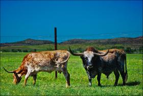 texas longhorns grazing in a field