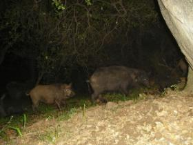 Feral pigs at night.