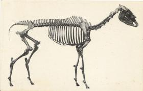 Example of horse fossil