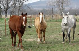 Three Horses Near Turley, Oklahoma