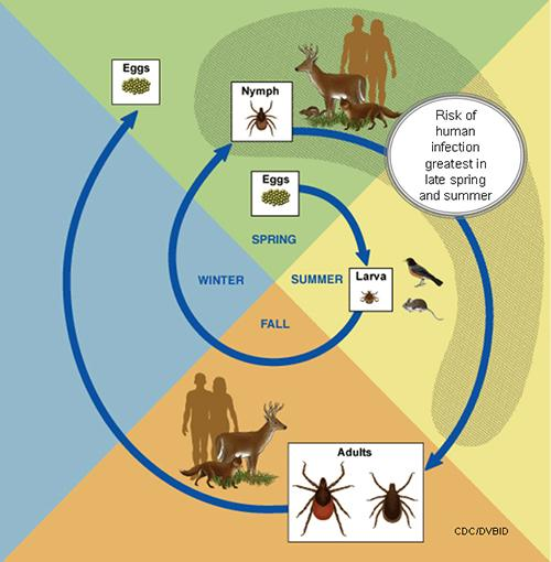 This diagram shows the life cycle of blacklegged ticks that can transmit anaplasmosis, babesiosis, and Lyme disease.