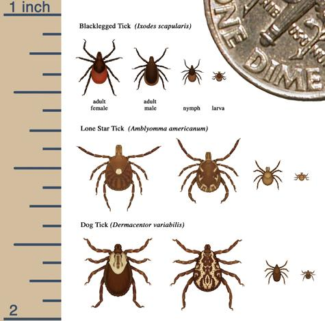 Relative sizes of several ticks at different life stages.