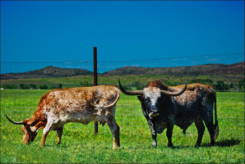 texas longhorns grazing in a field