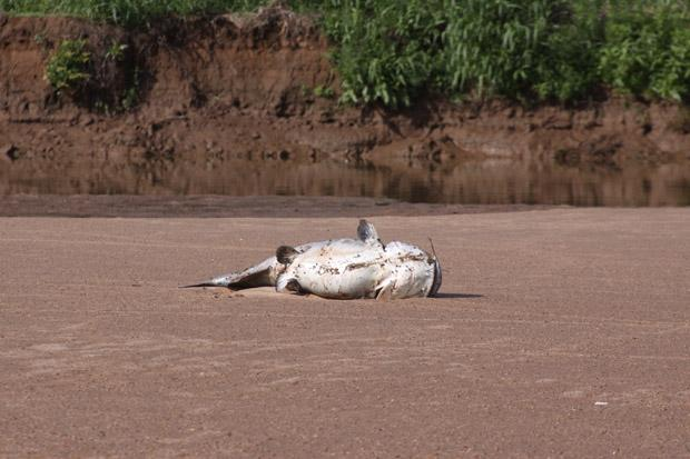 Thousands of large fish, including flatheads and spoonbills, died in the June fish kill on the Salt Fork River.
