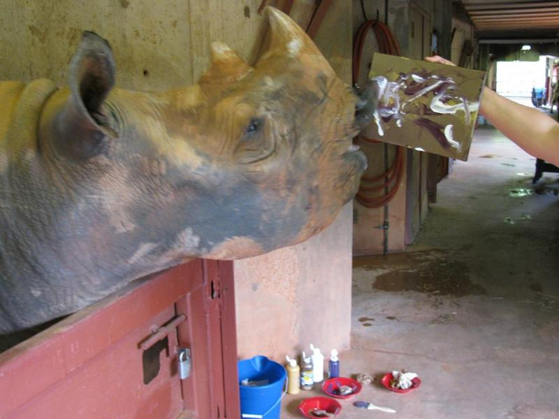 "Marsha ""paints"" a picture at the Oklahoma City Zoo. The aging black rhinoceros died Sunday during a medical examination."